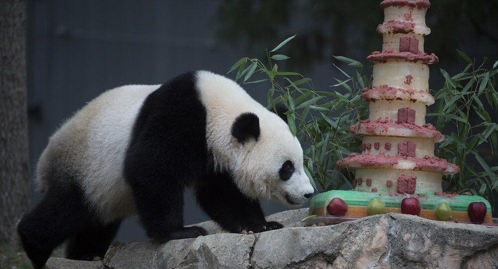 为什么大熊猫很难找到伙伴?研究报告:区分能力有限