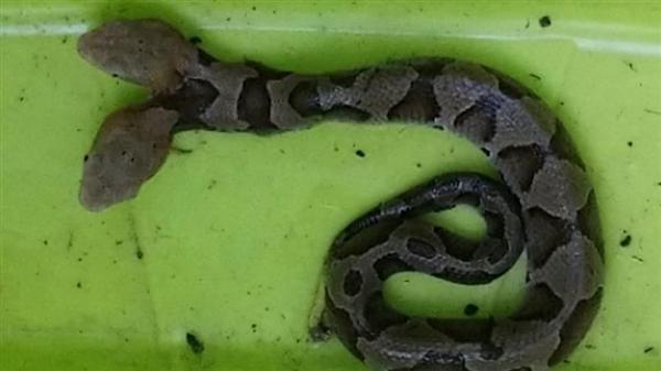 美国出现双头铜蛇:被管理部门捕获