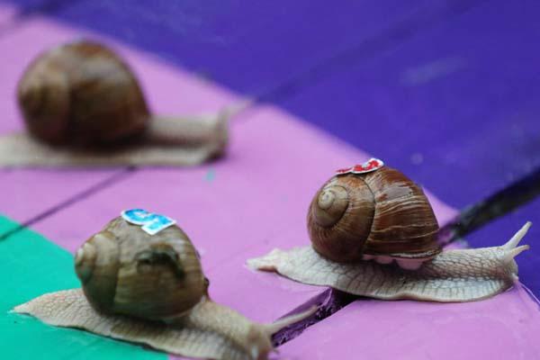 最考验耐心的比赛!白俄罗斯小村庄举行蜗牛赛跑