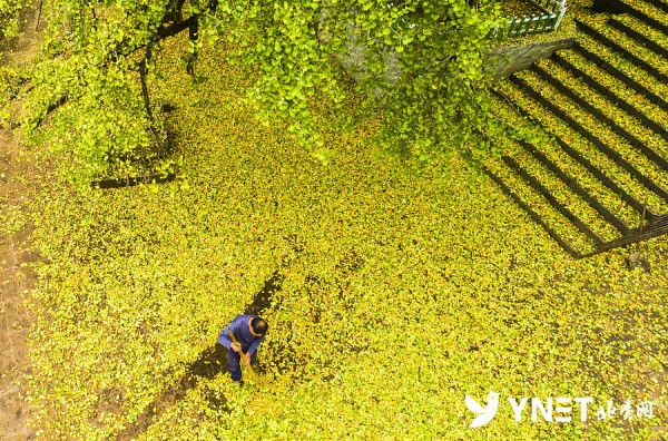 千年银杏收获1600斤价值9万元果实