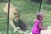 狮子欲偷袭女童因玻璃墙阻隔未得逞
