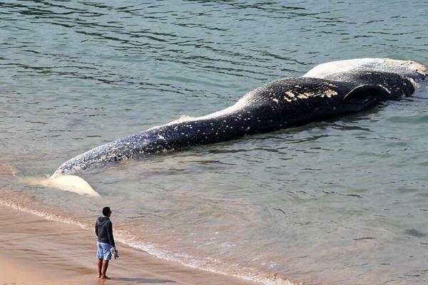 澳大利亚热门海滩现巨型鲸鱼尸体 被迫关闭