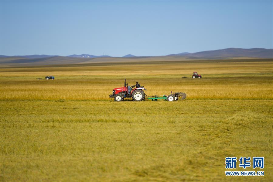 内蒙古:草原打草忙