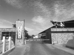 """奶业寒冬 华夏畜牧三河经营14年只剩一头""""假奶牛"""""""