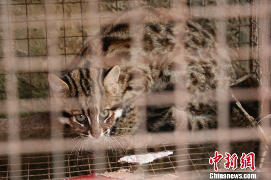 湖北后河保护区放生国家二级保护动物豹猫