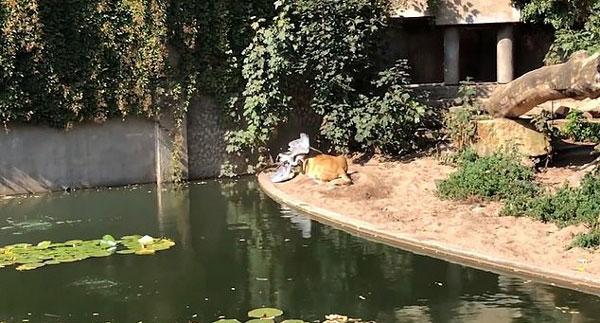 """荷兰动物园一苍鹭误入狮圈成母狮""""盘中餐"""""""