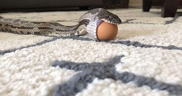 美鼠蛇吞食整只鸡蛋 蛋壳完好无损