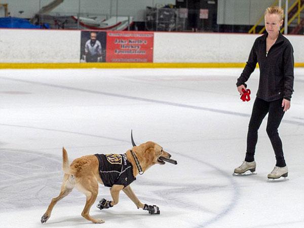 厉害了!美国一拉布拉多犬学会溜冰 曾险遭安乐死