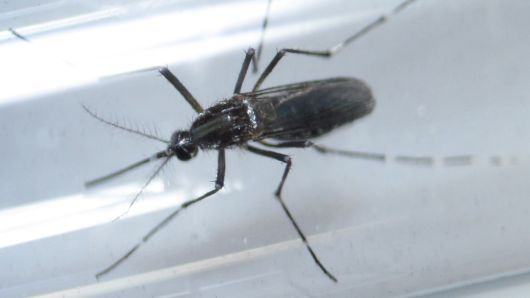 重大发现:基因改造可彻底消灭携带疟疾蚊子
