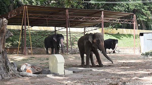 印象夫为让大象节日负重游行 严酷训练致其体力不支