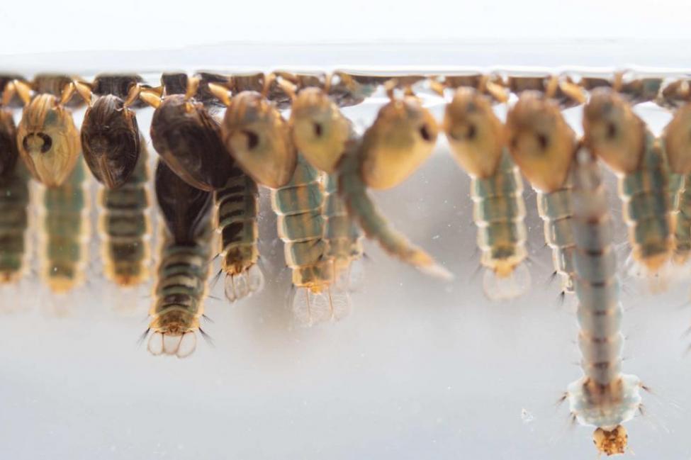 英国科学家试验基因工程技术 有望终结疟疾传播