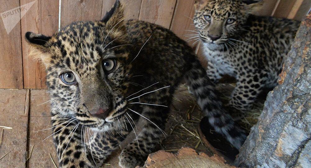 """俄罗斯国家公园或提议让金正恩成为远东豹""""守护者"""""""