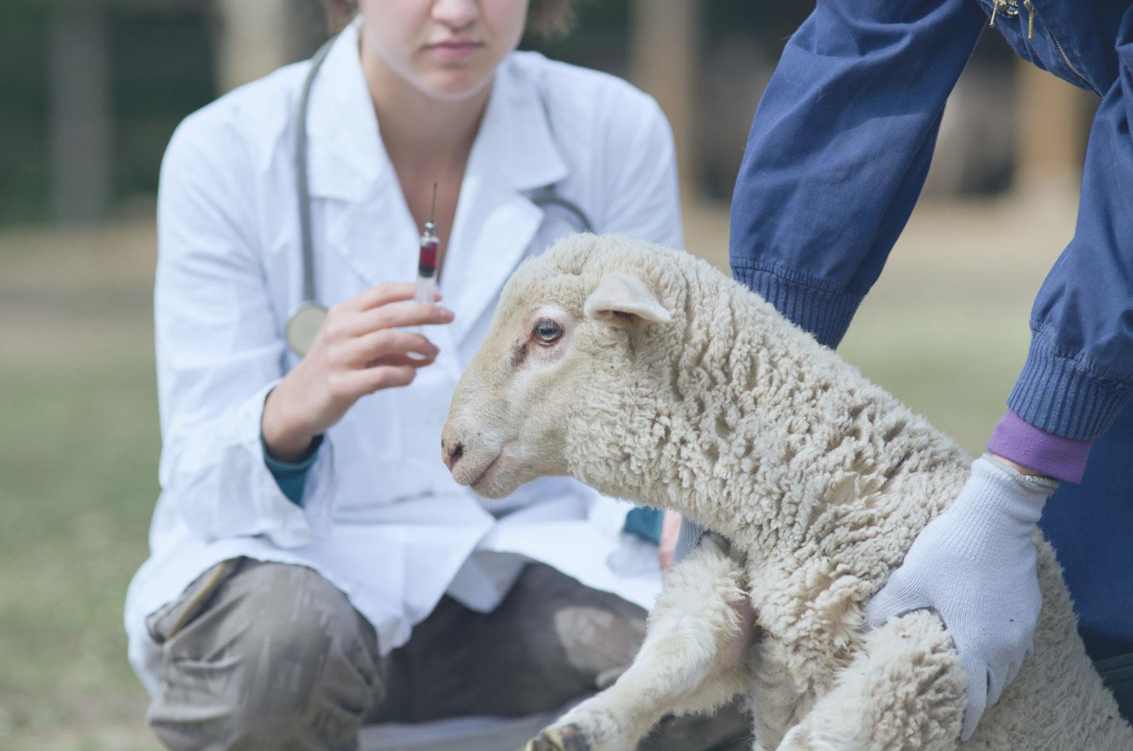 """羊身上""""长出""""人器官?器官移植研究取得新突破"""