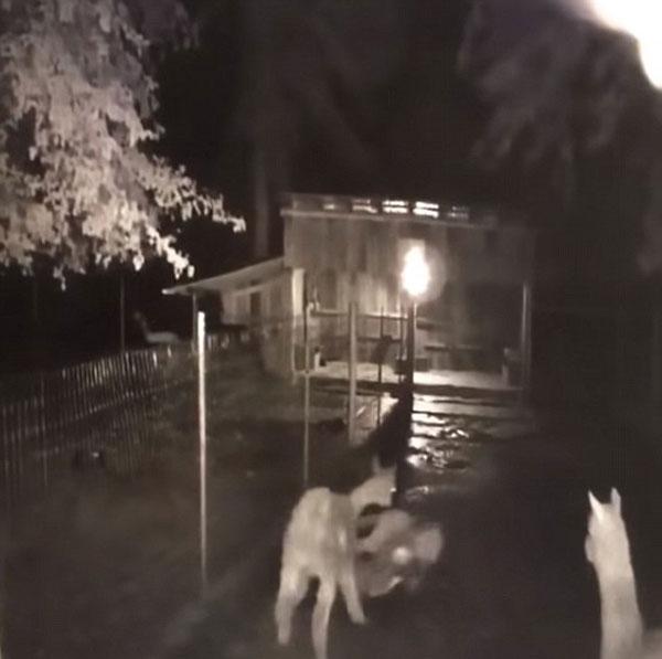 生死时速!母羊驼为救幼崽穷追美洲狮不舍