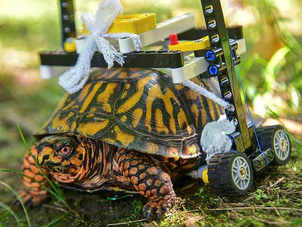 """美国一动物园用乐高玩具为裂壳乌龟打造""""轮椅"""""""