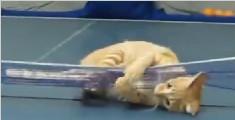 连猫的乒乓球都打得比你好