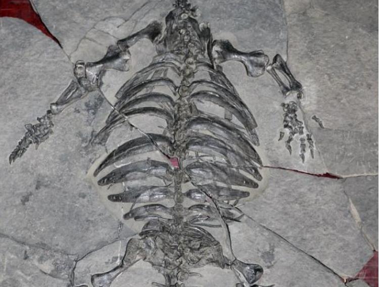 距今2.28亿年 中国始喙龟化石首次公开