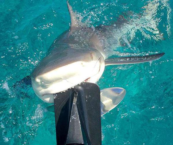 """巴哈马柠檬鲨死咬渔船引擎""""得意露齿微笑"""""""