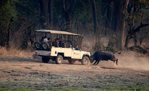 惹不起!非洲水牛突袭游猎车牛角撞进引擎