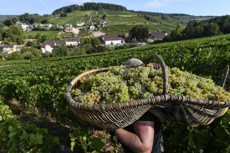 干旱助法香槟与勃垦地葡萄丰收 2018将成香槟酒特好年份