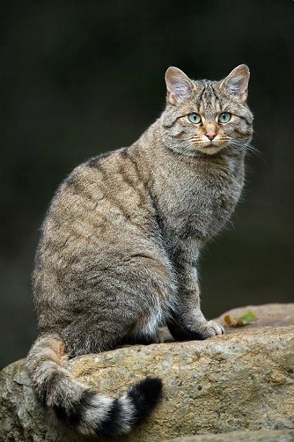 最新研究称猫其实并不擅长抓老鼠