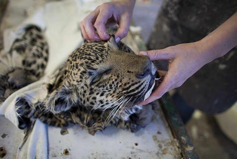 揭秘纳米比亚野生动物标本工坊 主顾多为白人富豪