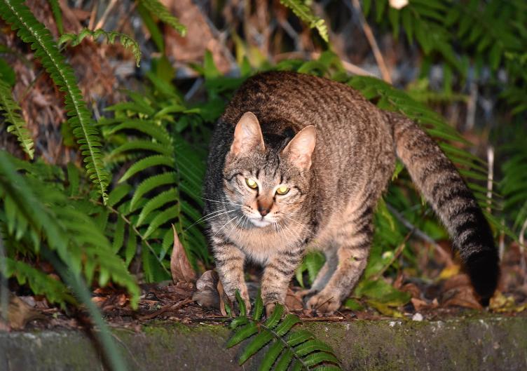 保护生态还是残害生灵?日本捕杀野猫引热议