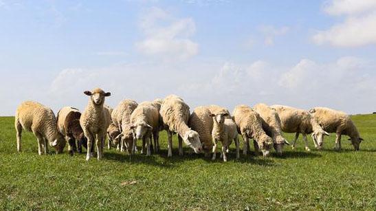 2017—2018年中国羊业市场进一步拉升