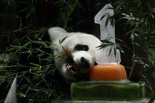 """中国大熊猫落户印尼满一年 动物园准备""""蛋糕""""庆祝"""