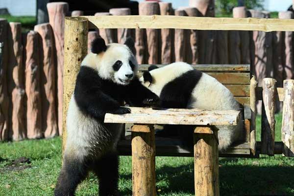 国庆假期首日长春熊猫姐妹卖萌撒欢