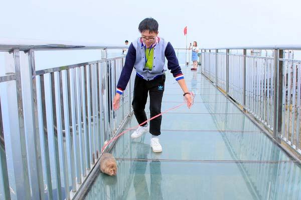 广东金子山员工在玻璃桥上遛芒鼠 引游客争相拍照成网红鼠