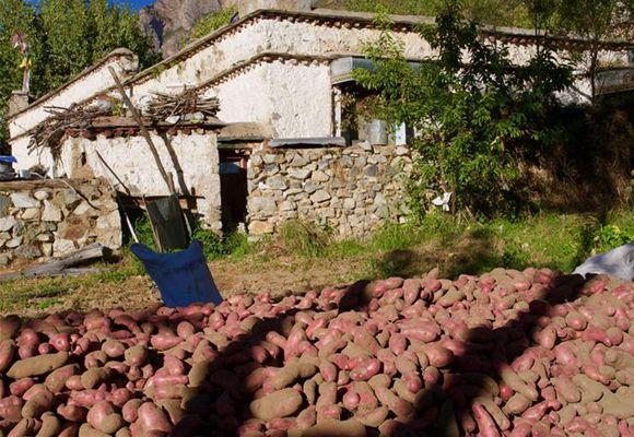 """西藏:""""红土豆之乡""""迎丰收"""