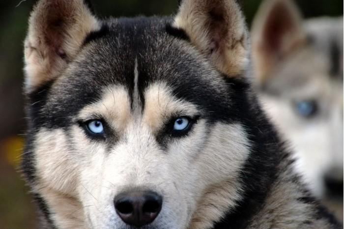 科学家已经发现导致哈士奇眼睛为蓝色的基因