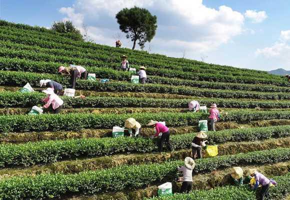 福建安溪:铁观音秋茶开采