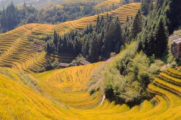 广西龙脊梯田上演秋色大片成金黄色海洋