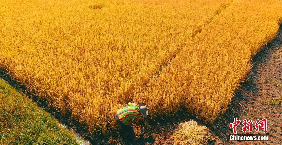 一片金黄!航拍江西农村水稻收割忙