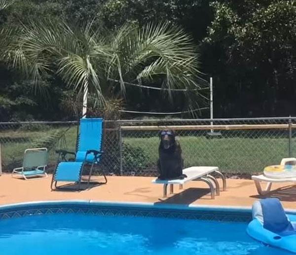 美狗狗听到主人施令后泳池内大秀狗刨式泳姿