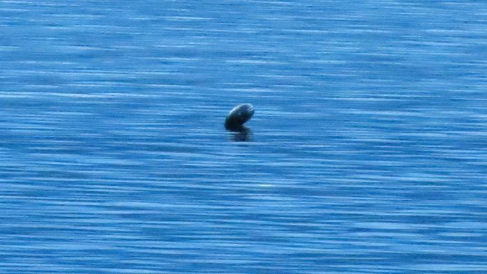 加拿大水怪Ogopogo频频曝光:目击者称长约15米
