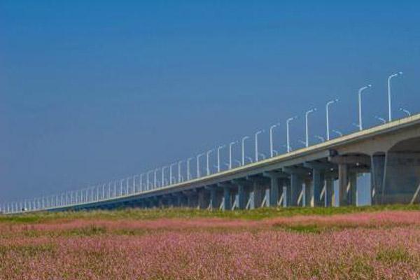鄱阳湖连片蓼子花提前绽放 宛若粉色花海