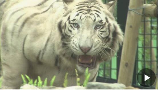 日本一动物饲养员被老虎袭击身亡 饲养员头部大面积出血