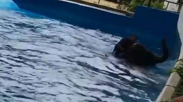 泰国一动物园被曝大象遭扯耳被迫水下表演
