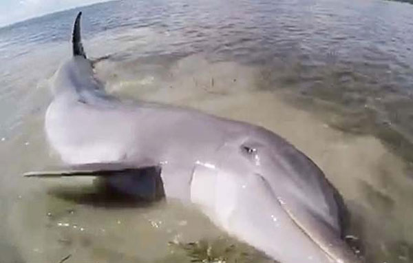 暖心!落单海豚被困美国泥滩 船员们拼命营救