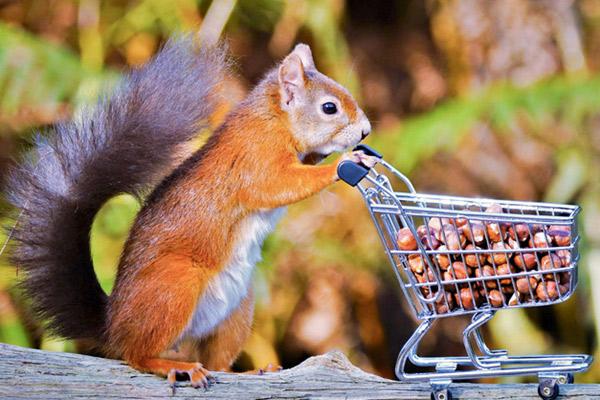 """英国小松鼠推迷你购物车""""扫货"""" 满载栗子可爱极了"""