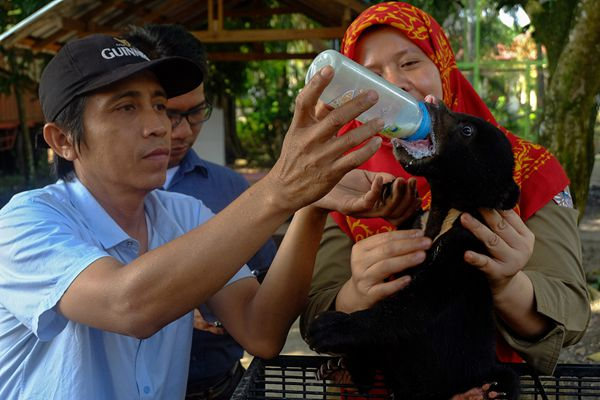 """印尼自然栖息地遭破坏 马来熊宝宝在""""孤儿院""""享贴心照顾"""