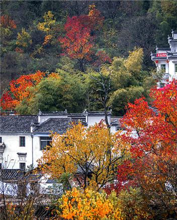 寒露至·秋意浓 | 安徽黄山闻香赏叶赏菊黄