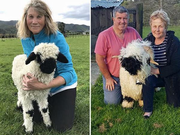 世上最呆萌小羊被成功从英国引入新西兰 惹人喜爱
