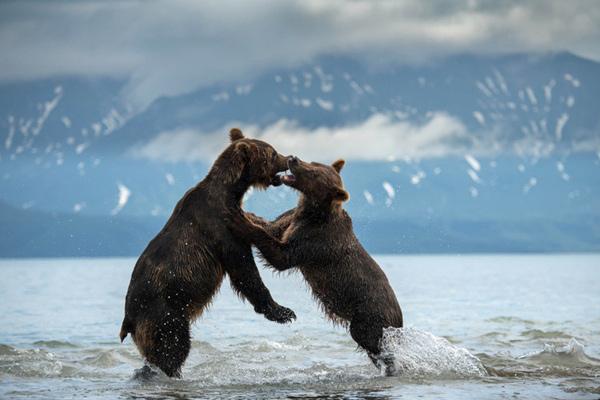 俄罗斯俩大熊上演夺权大战 场面激烈似动作大片