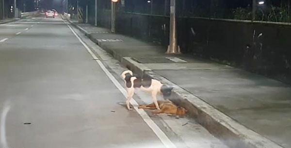 令人心碎!菲律宾一流浪狗试图叫醒被车撞死的伙伴