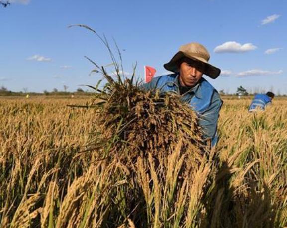 """我国首次进行""""海水稻""""大范围测产 目标产量每亩300公斤"""