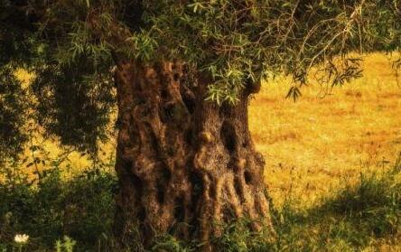 """葡萄牙最古老橄榄树3350年""""高寿"""",还在产橄榄!"""